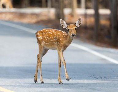 cute fawn in the road